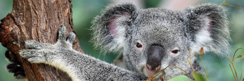 Koala - The Language Academy